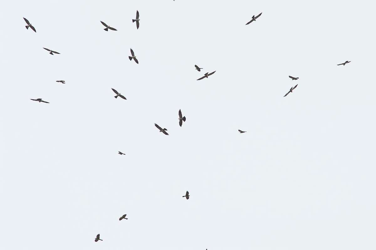 Circling flocks called kettles of migrating Mississippi kites may number several hundred or more as they sail over neighborhoods this August. Photo Credit: Kathy Adams Clark. Restricted use.