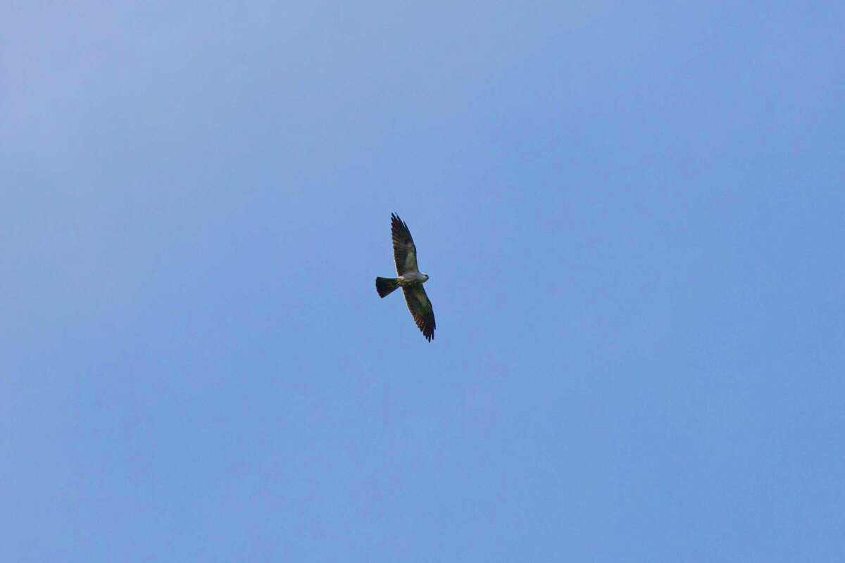 Mississippi kites can be seen sailing through our August skies. Photo Credit: Kathy Adams Clark. Restricted use.