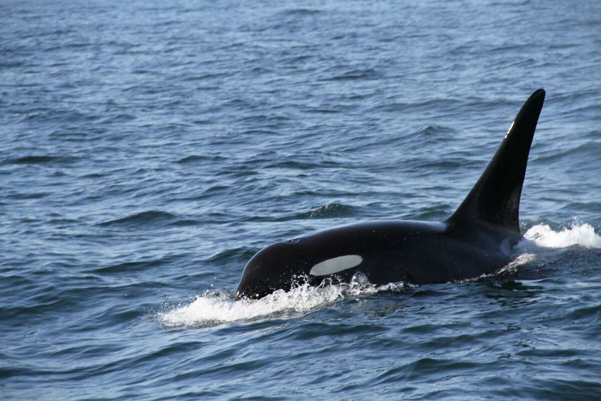 Whale watching off the coast of the San Juan Islands, a male orca whale member of J Pod breaks the water before submerging.