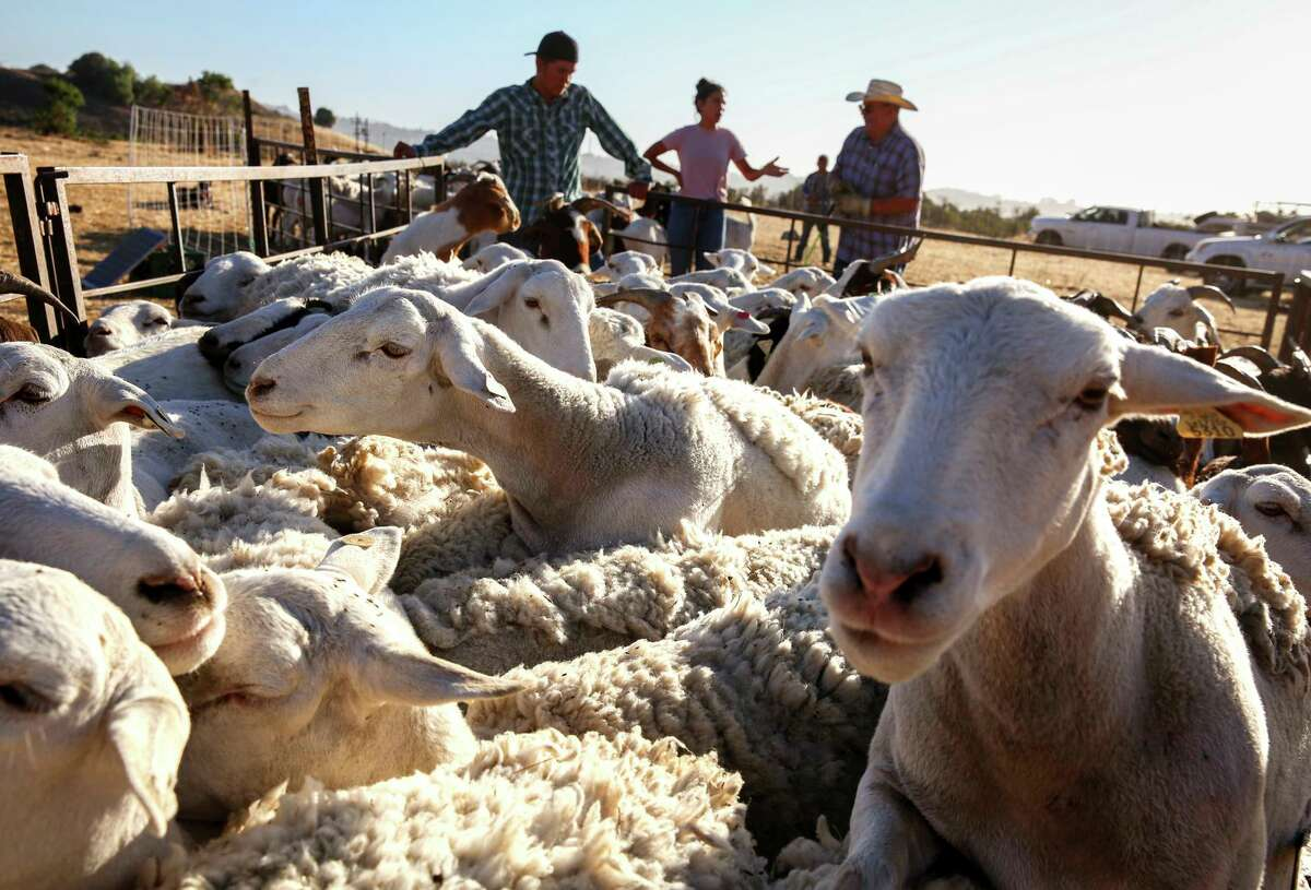 A mixed herd of sheep and goats gathers near a chute toward a trailer at Carquinez Strait Regional Shoreline in Port Costa. The herd clears vegetation to reduce fire fuel.