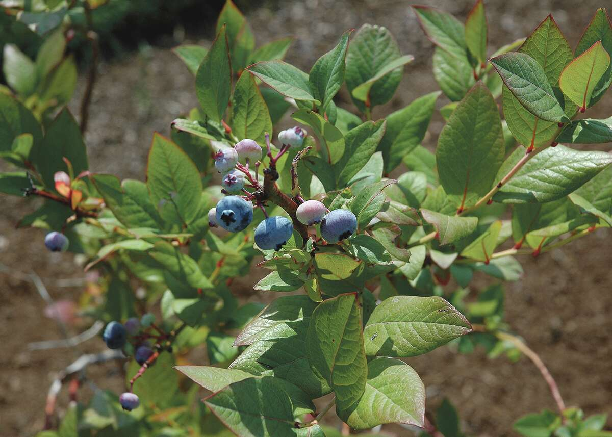 Blueberries are one of the most nutritious foods with antioxidants that fight cancer, disease and the effects of aging.