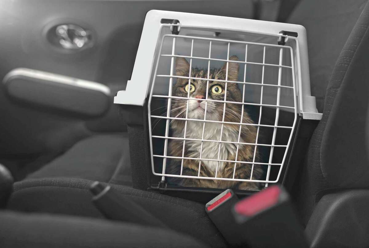 When moving with cats, it's best to drive them. They will be much less stressed than they would be on an airplane with strange people handling them.