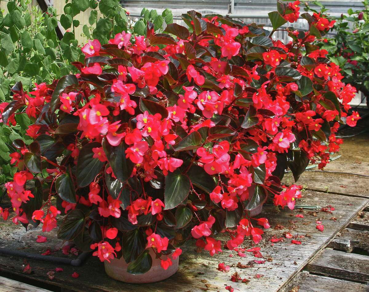 Whopper begonias have larger leaves and flowers than the popular wax leaf begonia, but they're just as tough.