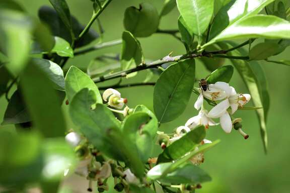 Before the freeze, Houston had an abundance of healthy grapefruit trees. A bee pollenates a grapefruit blossom in Missouri City.