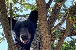 Border Patrol agents in the Laredo sector encountered a black bear north of Laredo.