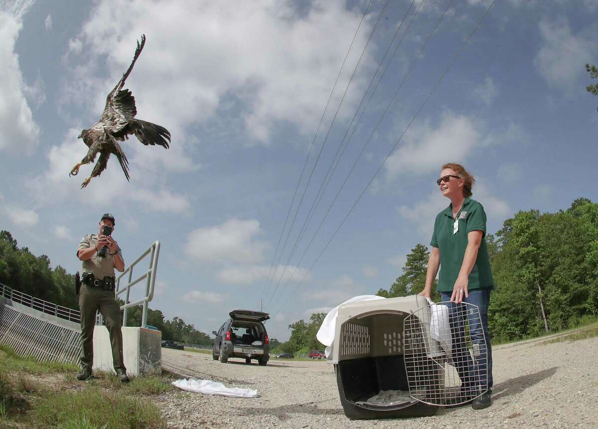 The Houston SPCA's Wildlife Center of Texas' Ann Mulder watches a juvenile bald eagle take flight back into the wild after he was brought to the Center back in May, Sunday, July 25, 2021, in Houston.