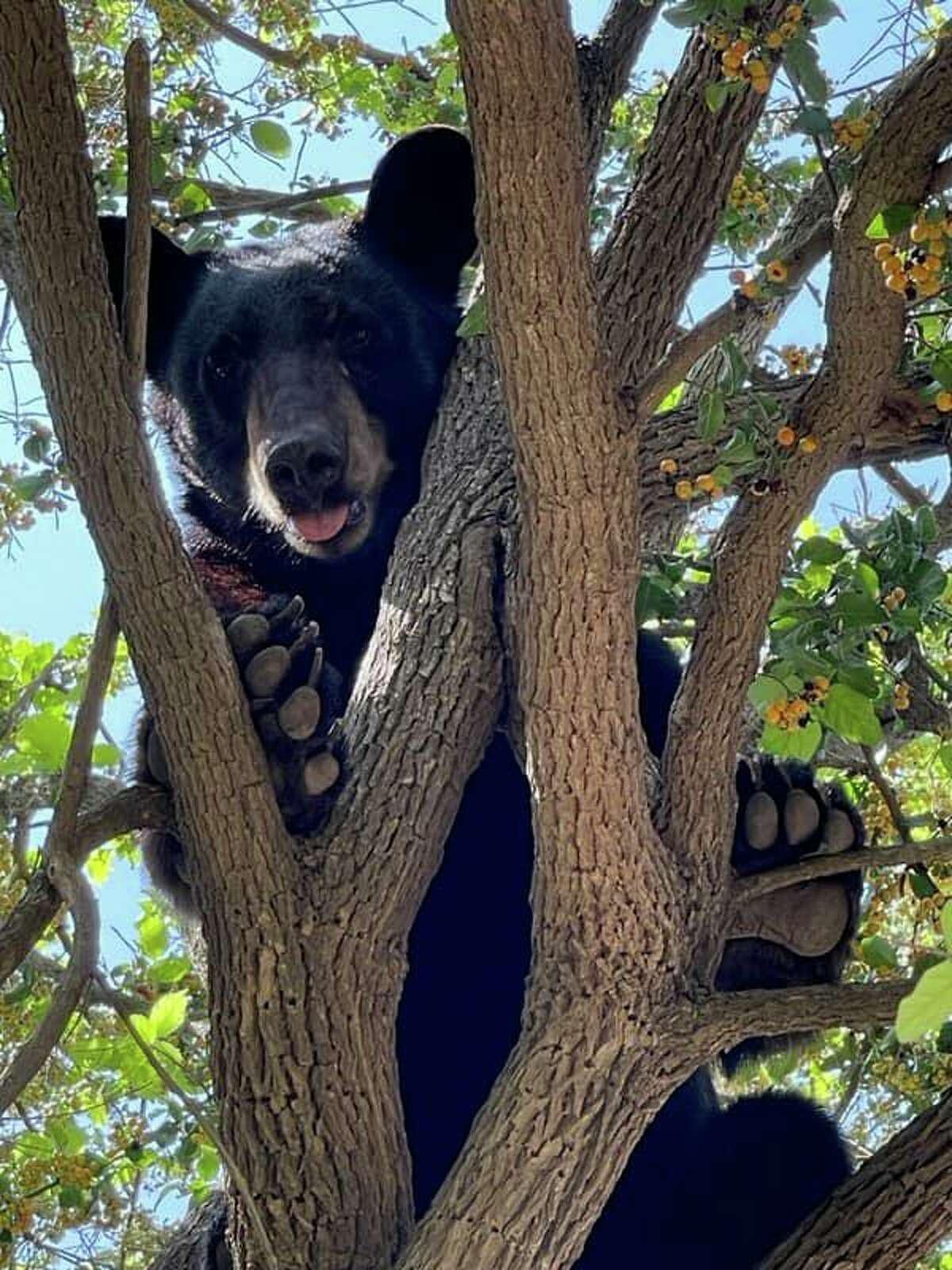 Agentes del sector Laredo de la Patrulla Fronteriza se toparon con un oso negro al norte de Laredo.