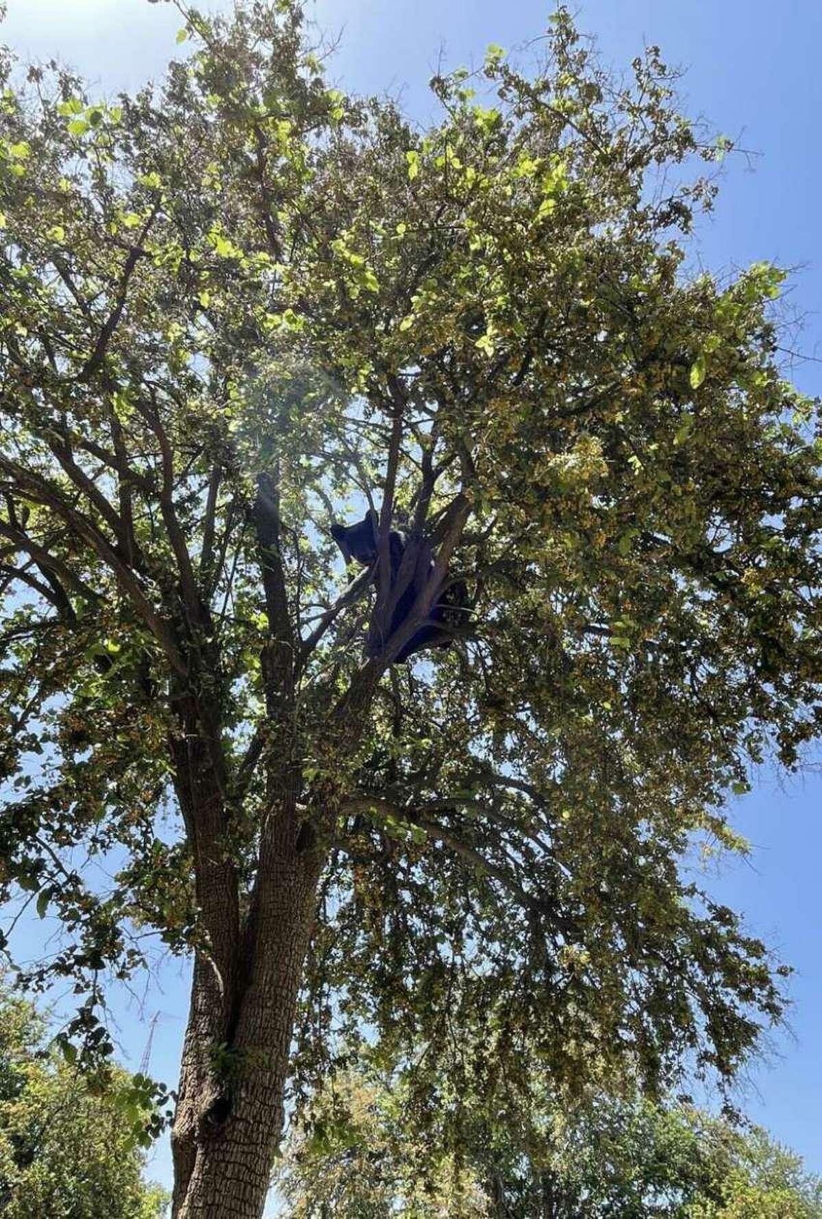 Un oso negro fue visto por agentes del sector Laredo de la Patrulla Fronteriza al norte de Laredo.