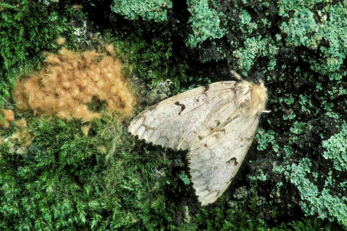 A female Lymantria dispar with egg mass. One female can produce an egg mass of 400 eggs. (Ed Reschke/Getty Images)