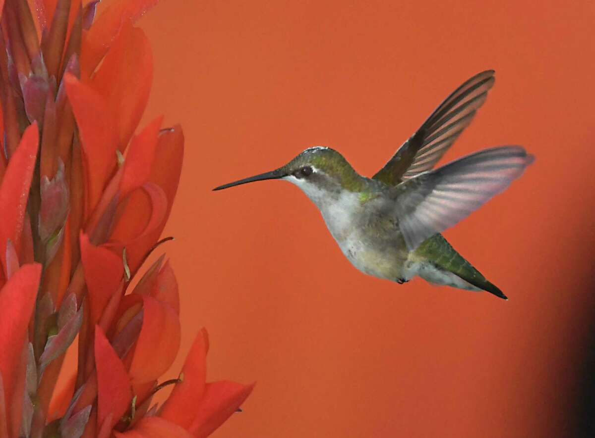 A hummingbird looks for food in a canna lily plant on Monday, July 26, 2021 in Guilderland, N.Y. (Lori Van Buren/Times Union)