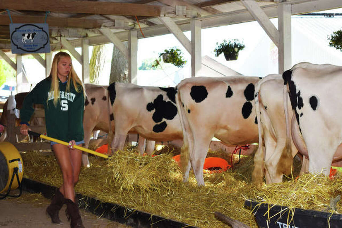An exhibitor beds down dairy cows at the 2019 Madison County Fair. Canceled by COVID-19 last summer, the fair returns July 27-Aug. 1 in Highland.
