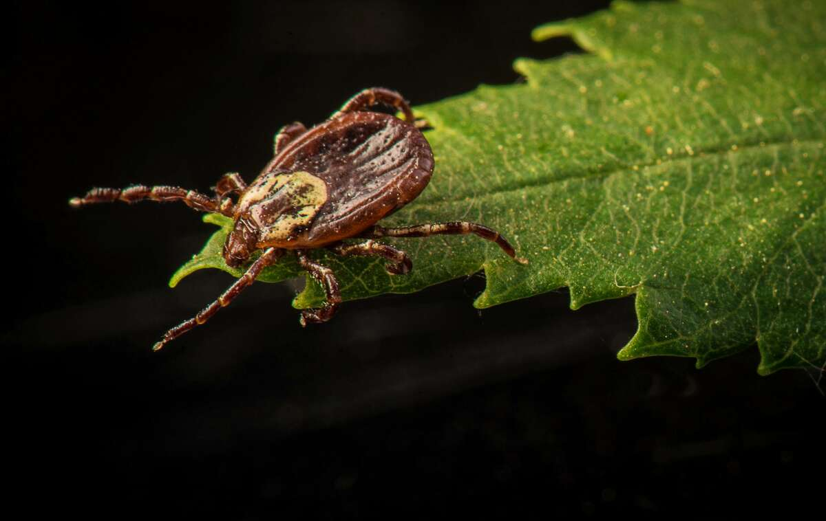 Pictured is an American dog tick.