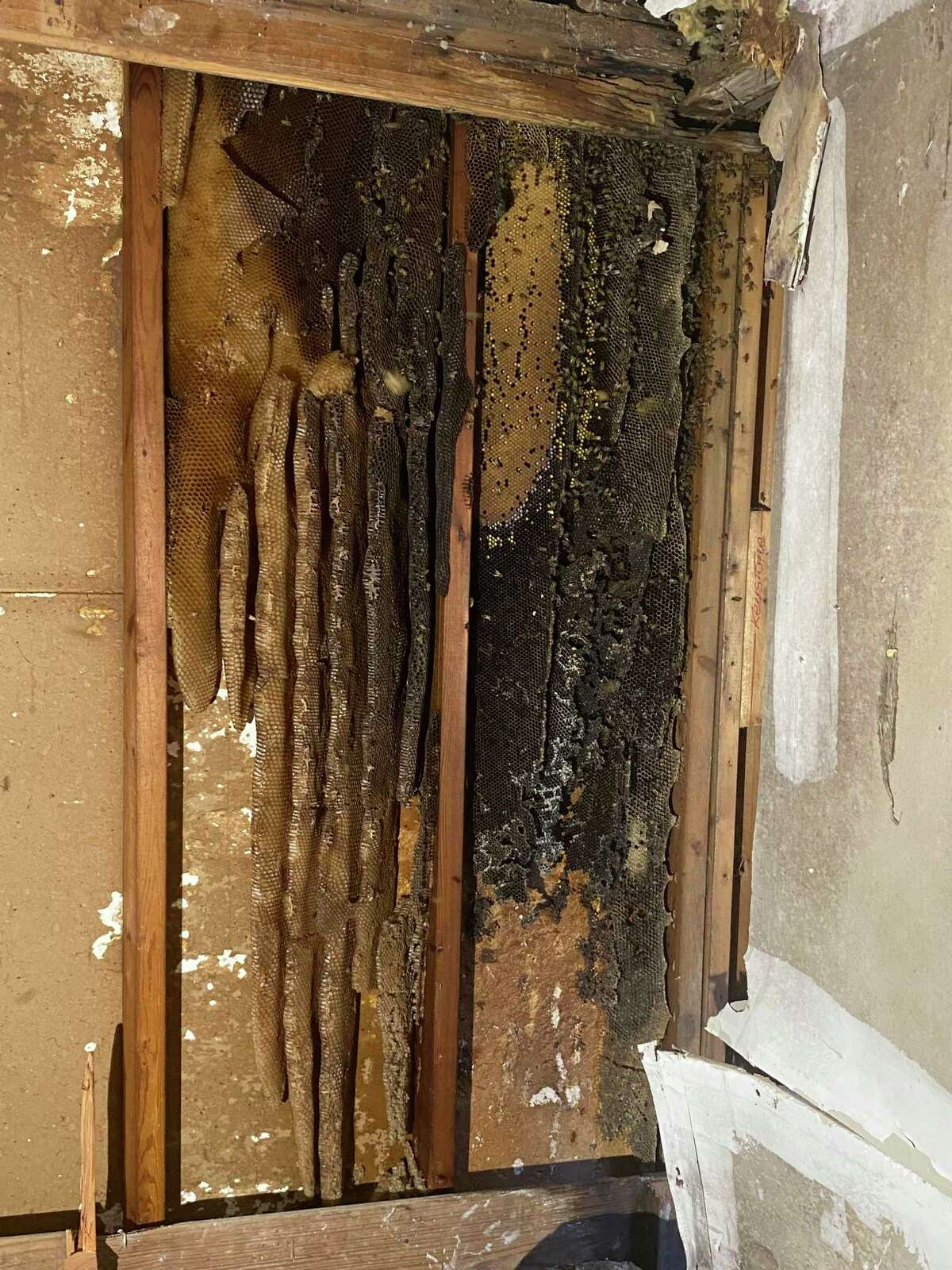 A 4-foot-wide, 8-foot-tall bee hive was found in a wall of a South Bexar County home where a man was killed by the bees while mowing his lawn on July 12.
