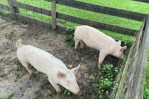 Pigs graze near the fence during the Full Moon Walk July 24 at the Chippewa Nature Center.