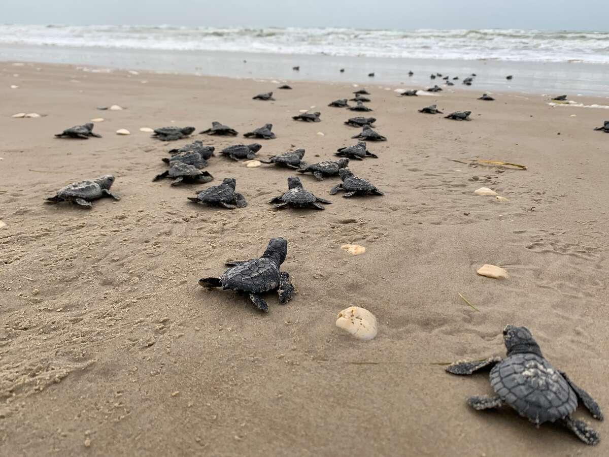 Turlte hatchlings at Padre Island National Seashore.