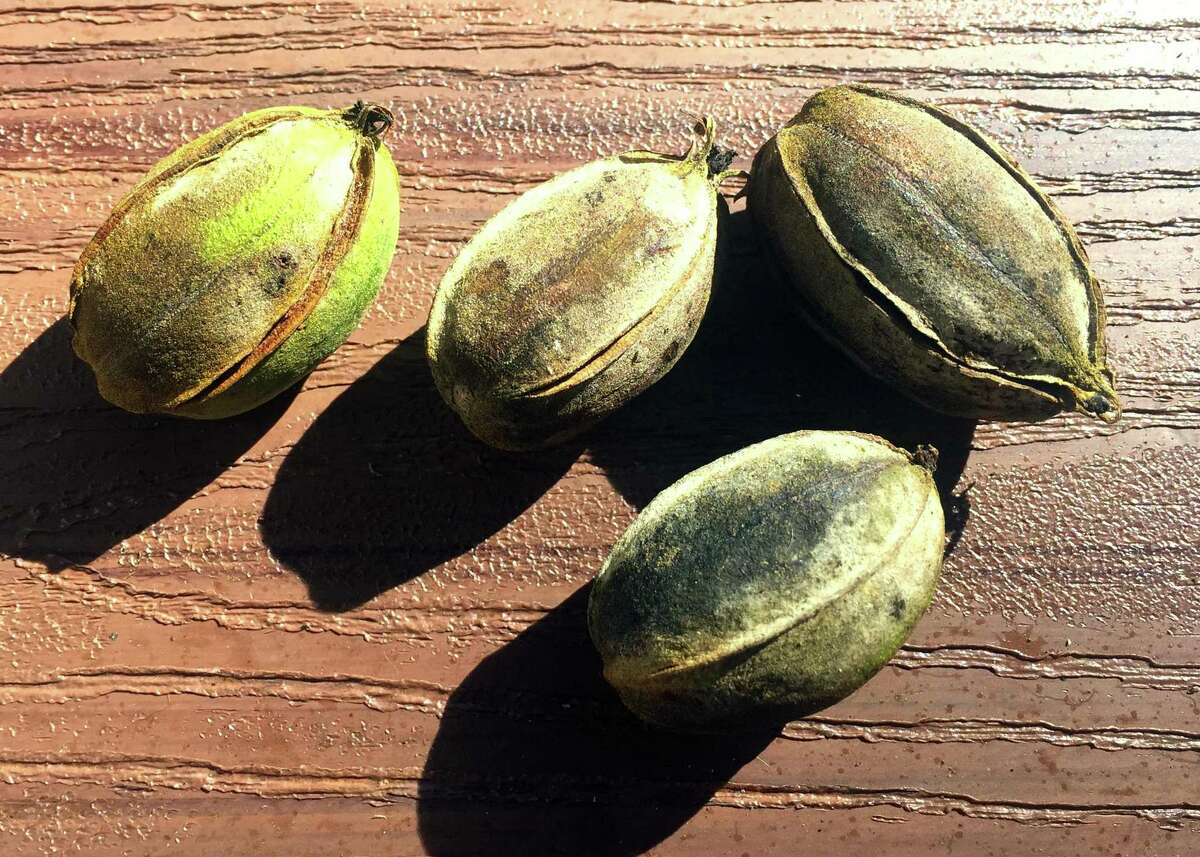 This is pecan scab, and the fungus actually starts back in the spring. The reader needs to include a labeled fungicide with each spray that made in May and June for insect control.