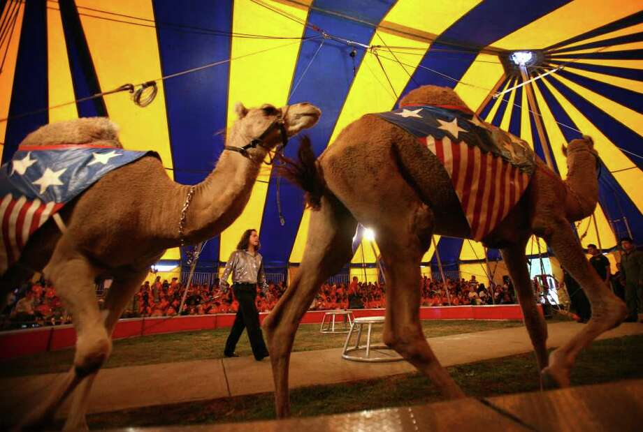 Camels parade around the ring under the big top at the annual Elizabeth M. Pfriem Circus at Beardsley Park in Bridgeport on Wednesday, September 15, 2010. Photo: Brian A. Pounds / Connecticut Post