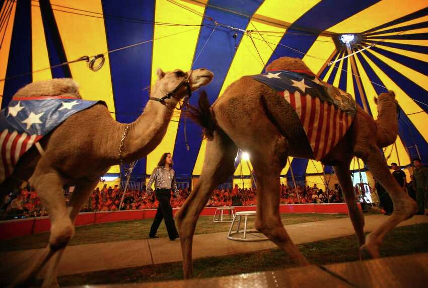 Camels parade around the ring under the big top at the annual Elizabeth M. Pfriem Circus at Beardsley Park in Bridgeport on Wednesday, September 15, 2010.