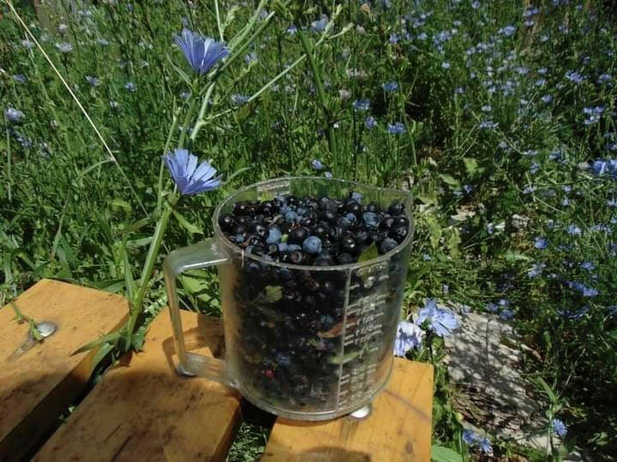 Being so small in size, it can take hours to accumulate a quart of wild blueberries, depending on how good a season it is. (Star photo/Shanna Avery)