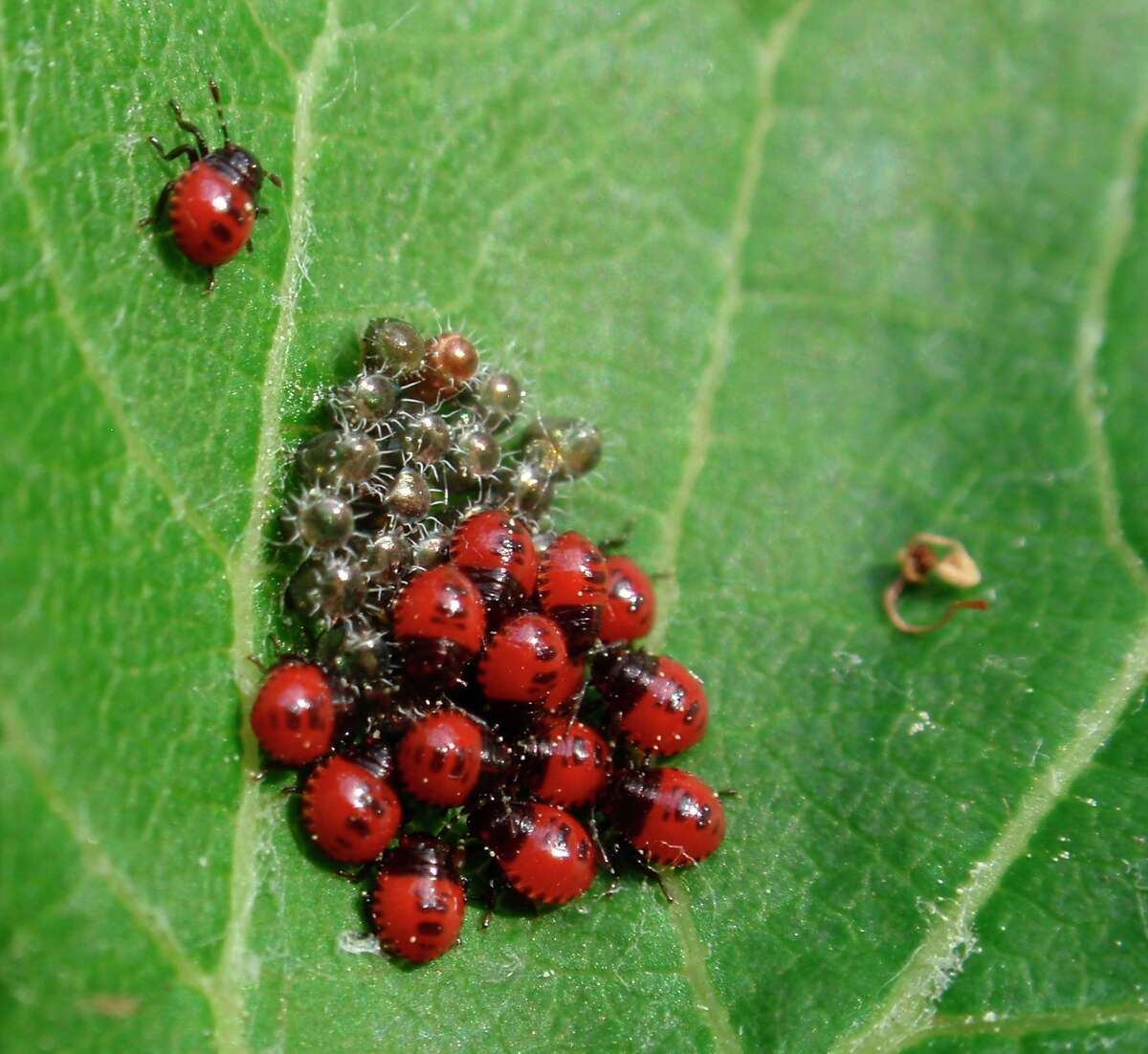 Stink bug (Podisus sp.) eggs and recently hatched immatures (nymphs).(Courtesyphoto/Nate Walton/MSU Extension)