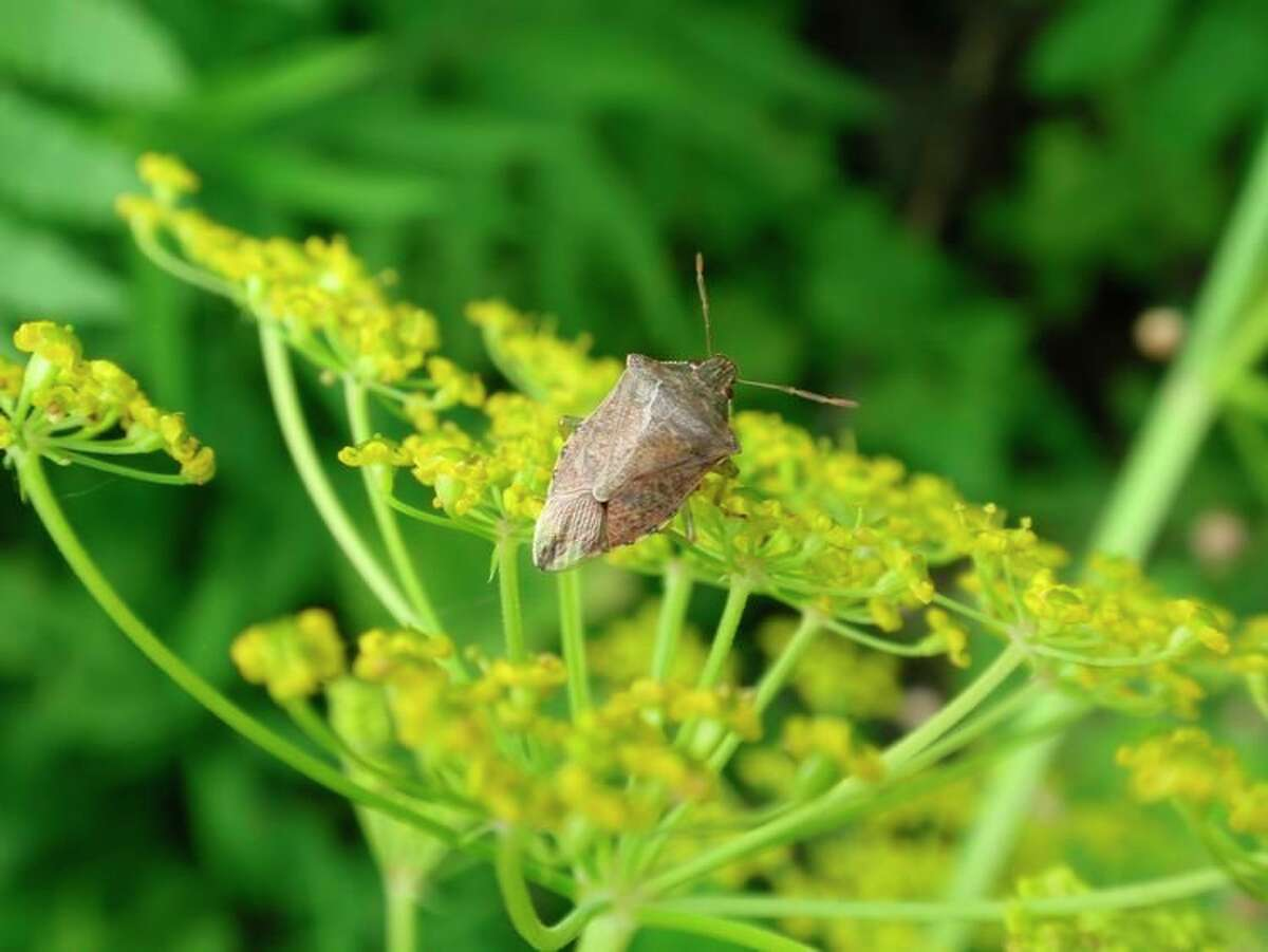 A stink bug in the family Pentatomidae (Podisus sp.).The family Pentatomidae contains species representing every part of the spectrum from almost entirely plant feeding (herbivores) to almost entirely predatory.(Courtesy photo/Nate Walton/MSU Extension)