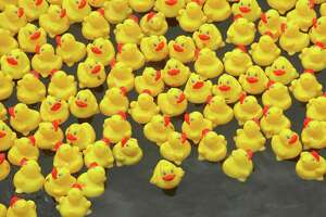 Westport Sunrise Rotary volunteers get the thousands of rubber ducks into place on the Saugatuck River for the Great Duck Race Saturday, June 9, 2018, at Parker Harding Plaza in Westport, Conn.