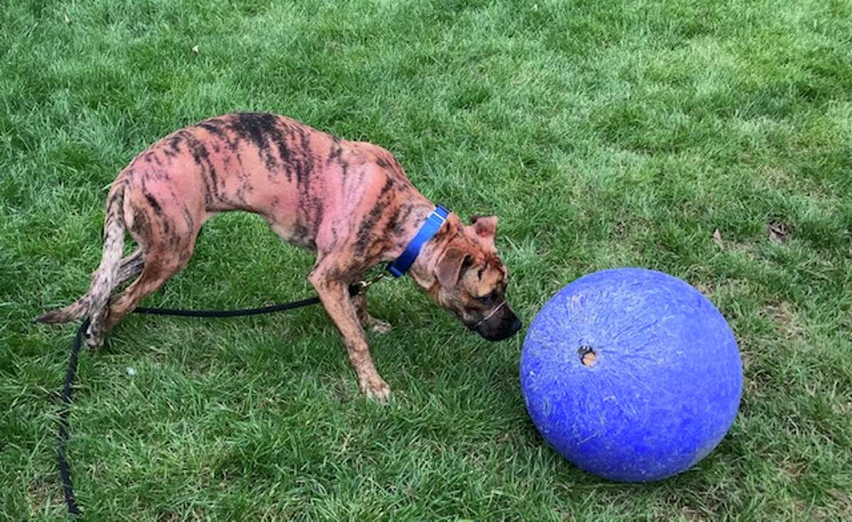 Shelter workers named the stray female pitbull brindle mix because it was dyed red and it delivers a plaintive, birdlike chirping when seeking attention.