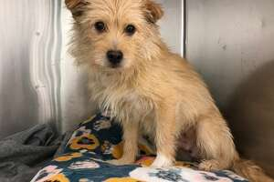 This mixed breed male, named Teddy, was rescued along with eight other dogs from a dog meat farm in Korea. The dogs will be available for adoption at the Menands shelter.