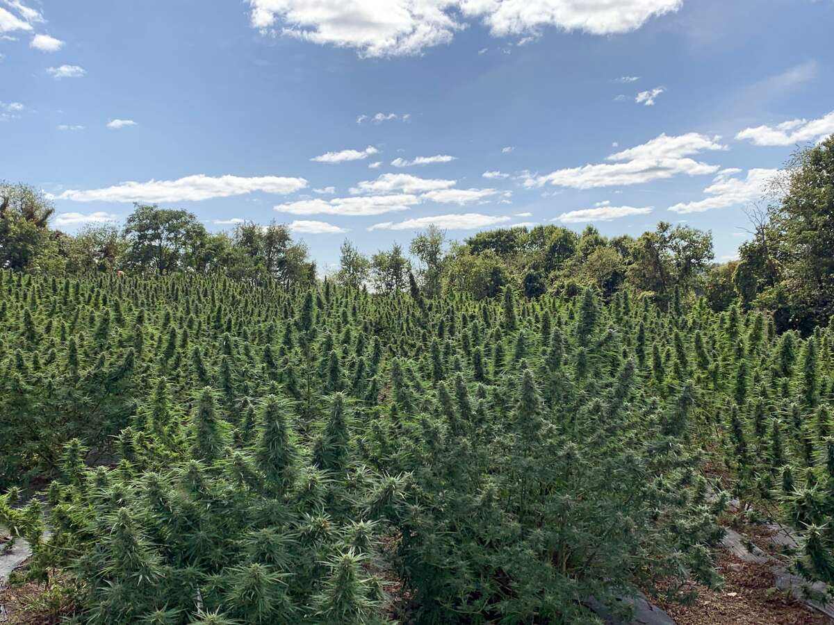A look at the 2019 crop from the Hudson Valley's Hempire State Growers. The farm turns its hemp crops into a line of CBD products. (Provided photo)