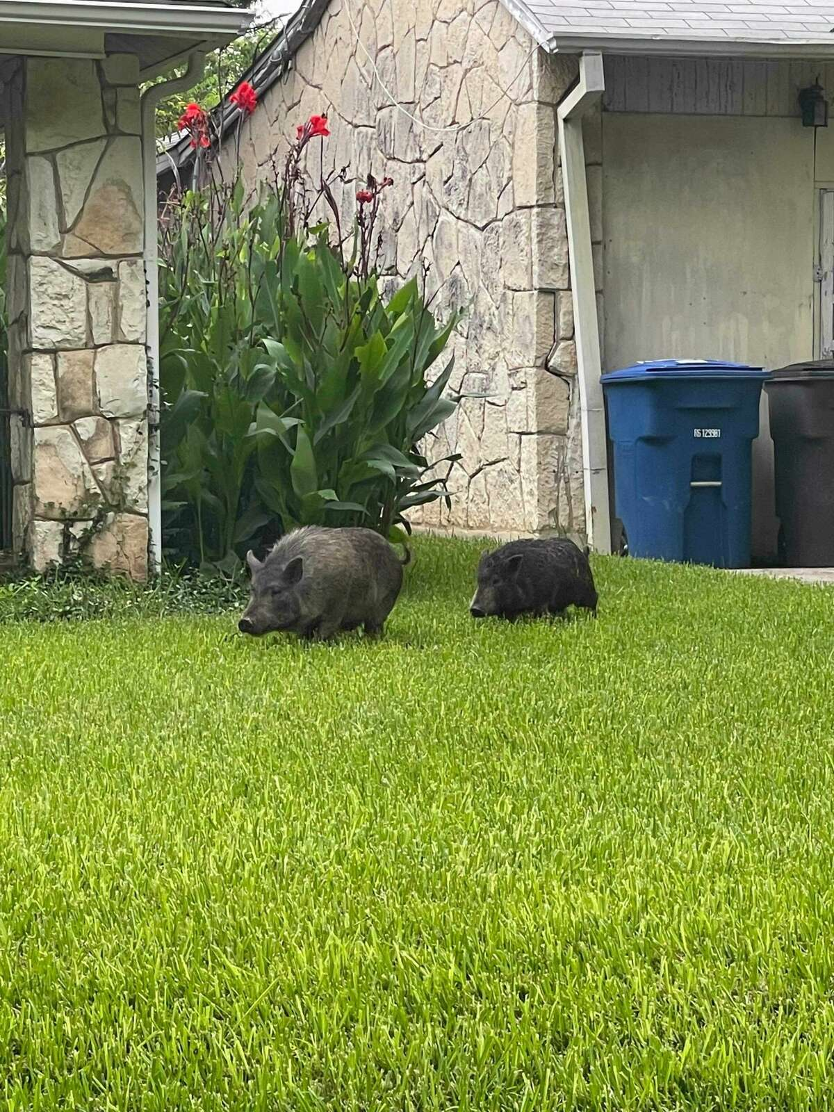 The city's animal care services picked up two cute 40-pound grey pigs roaming around a San Antonio neighborhood on Tuesday morning.