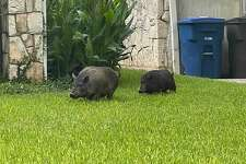 City's animal care services picked up two cute 40-pound grey pigs roaming around a San Antonio neighborhood on Tuesday morning.