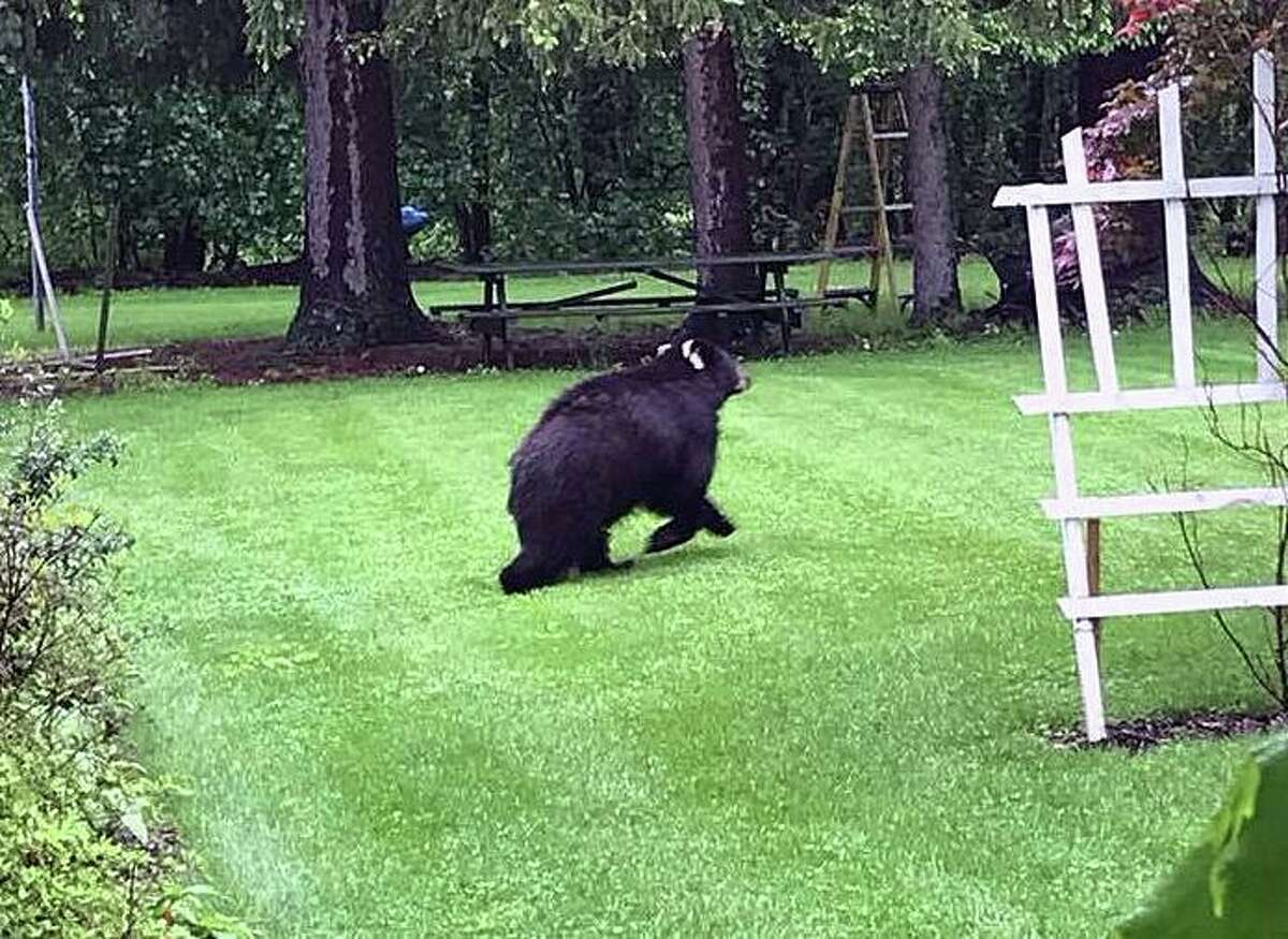 A bear who became known for wandering backyards in Trumbull was hit by a driver in Easton, Conn., that fled Monday, police said. The bear, who was seriously hurt, had to be put down. The image shows a file photo of a bear running through a yard in Bethel, Conn. This image is not the bear that was hit and killed in Easton.