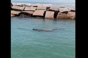 Captain Michael Rasco recently had his first encounter with a manatee while out by the jetties at South Padre Island on Monday. He tells MySA.com he thought it was a giant turtle but then realized it was the marine mammal once he stepped closer.