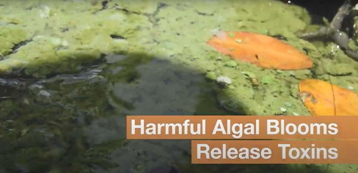 Harmful algal blooms release toxins known as cyanotoxins.