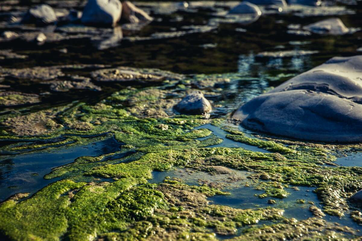Pictured is a harmful algal bloom in polluted water.