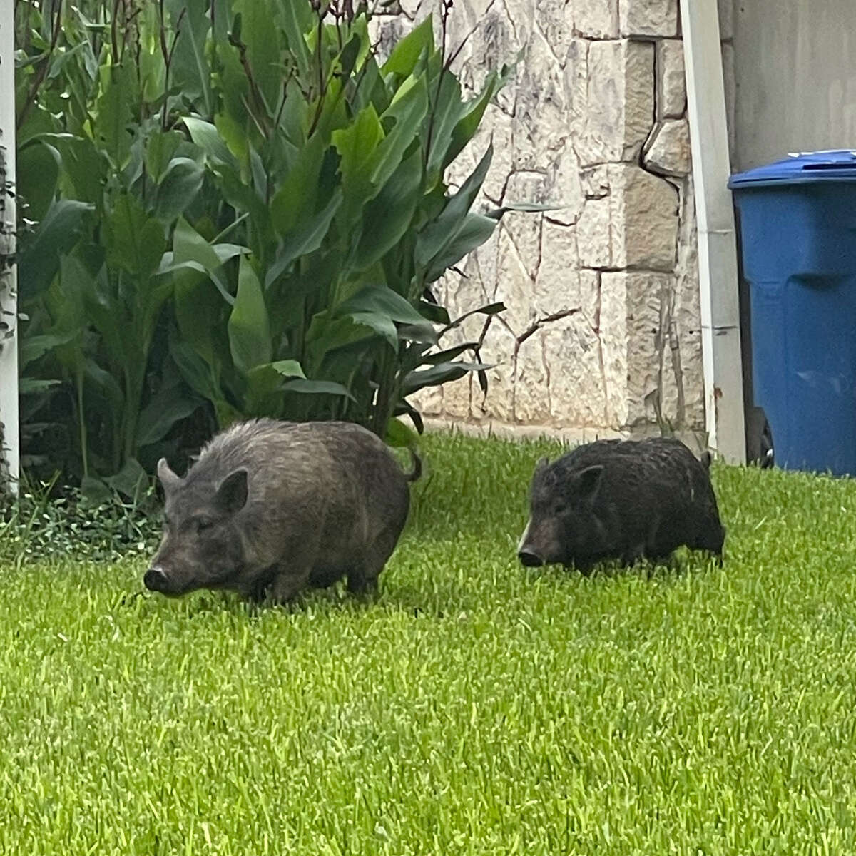 Two 40-pound pigs were spotted just before sunrise on the 200 block of West Hermosa Drive near San Pedro Avenue and Olmos Park.