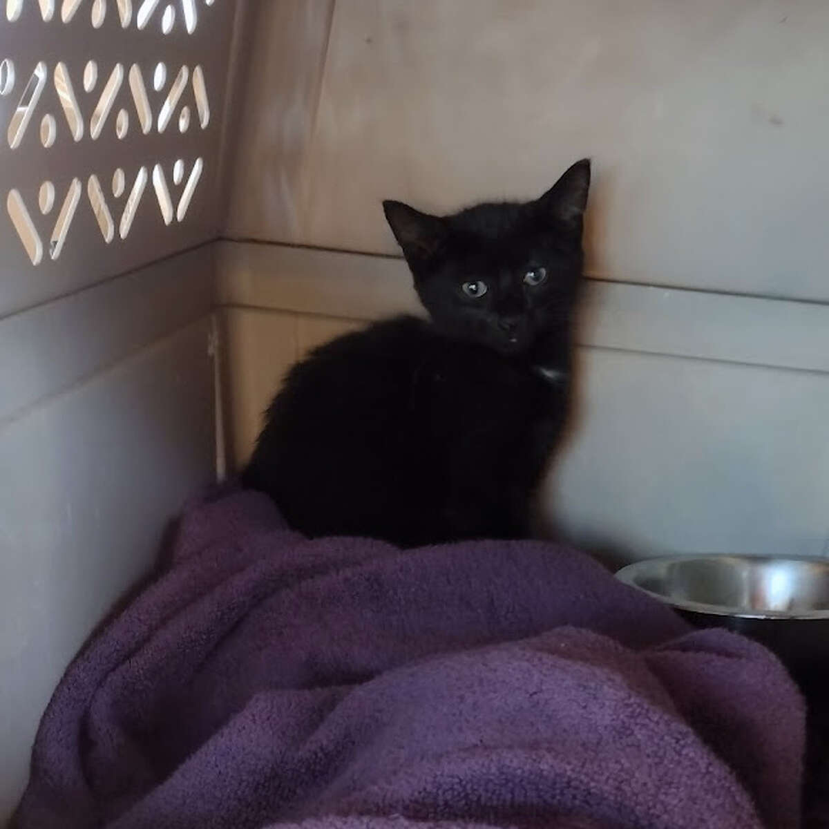 The 8-week-old kitten was rescued from the Hood Canal Bridge.