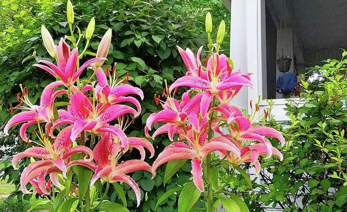 Lilies open, filling a Jacksonville yard with color.
