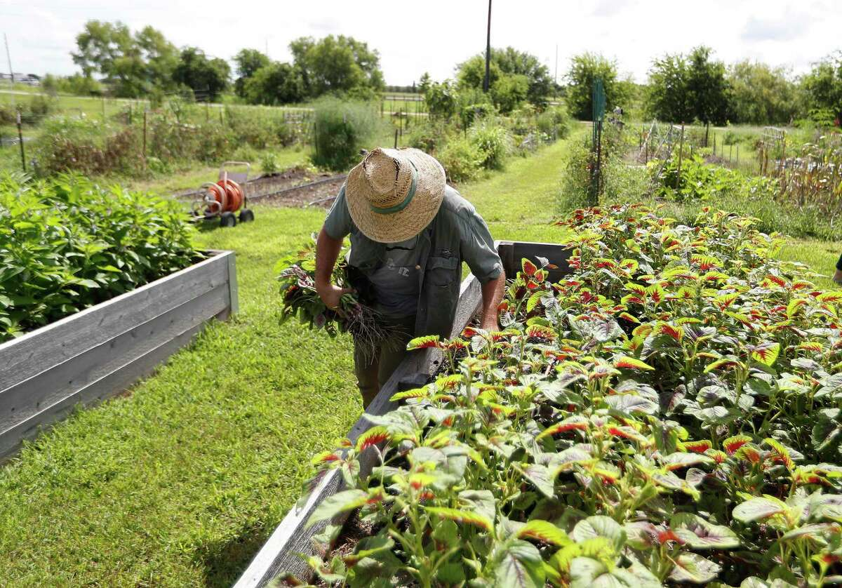 Lead farm educator, Nick Debrock works a raised garden bed in the Villiage Farm North Fields on the property of Harvest Green, the farm-focused community along the Grand Parkway at West Airport Boulevard in Richmond, which is growing, Friday, July 2, 2021, in Richmond.