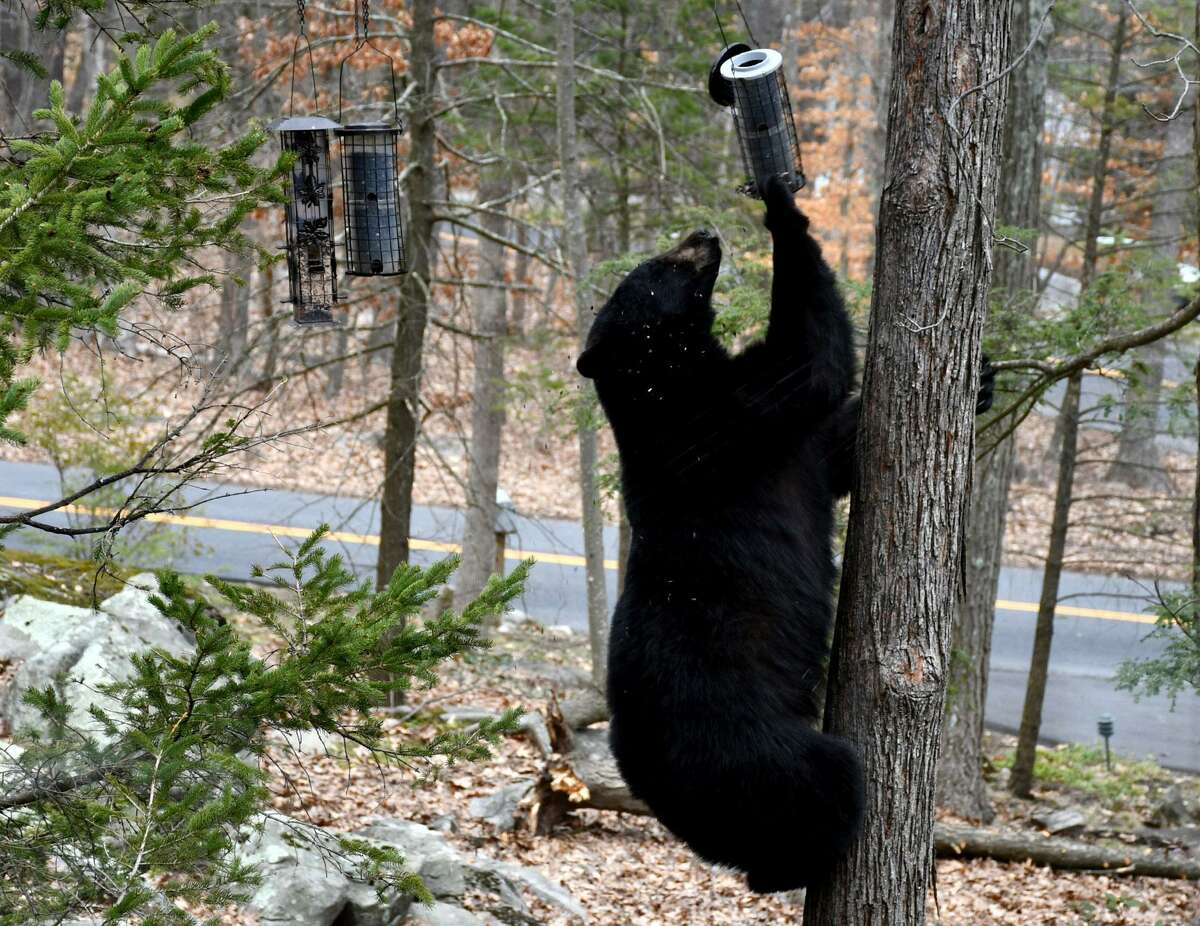 A file photo of a bear sighting in Brookfield, Conn., in April 2018. The bear in this photo is not Bear 211. State officials urge residents to remove bird feeders, and other bear attractants, from their yards. Feeders should be taken down from late March through November, when bears are active.