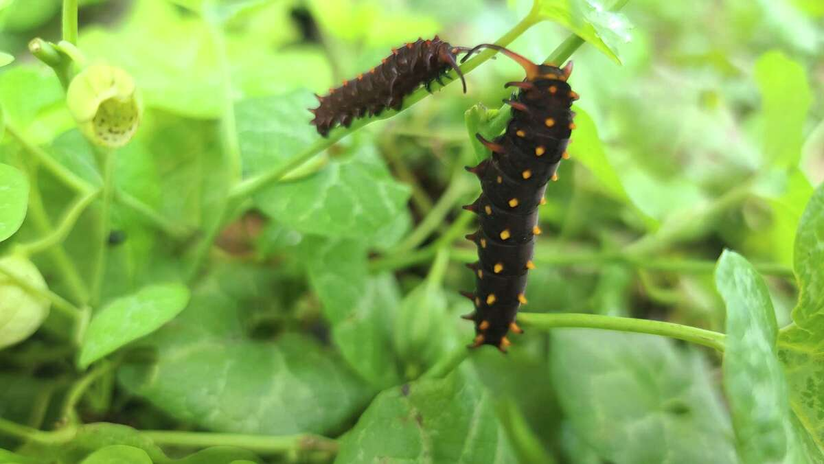 With their spikes, mature pipevine swallowtail caterpillars proved intriguing.