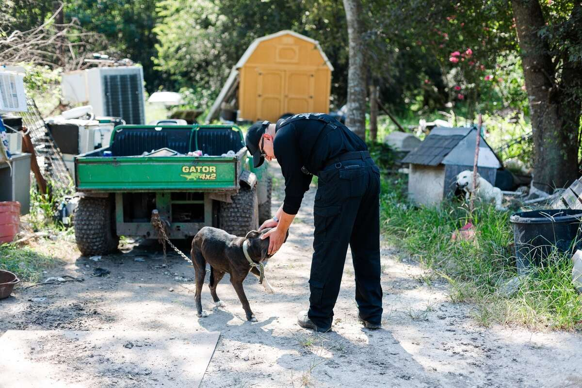 Many of the animals were found tied with chains or cords to old cars and large debris throughout the property.