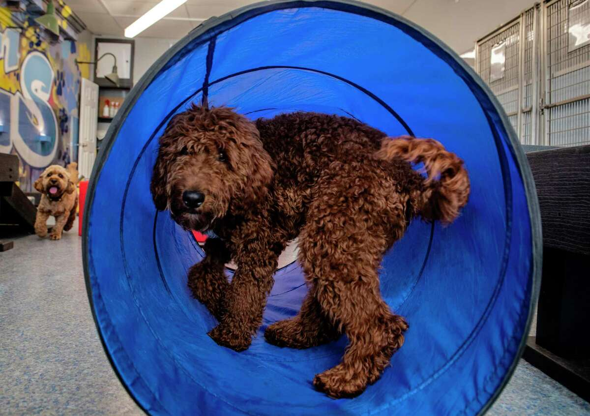 Pluto is an Irish doodle training to be away from his parents.