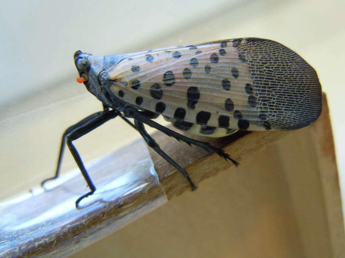 A slide shot of a spotted lanternfly.