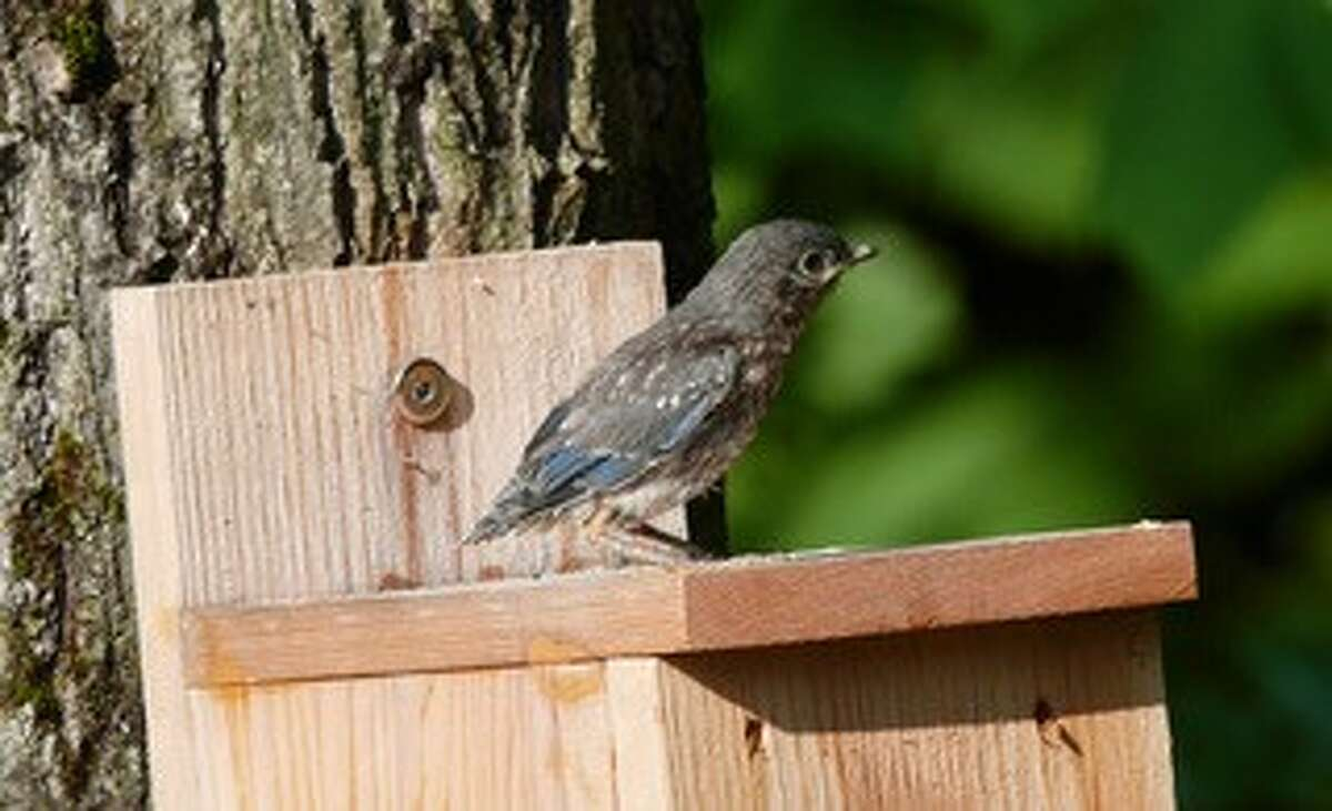 From Jerry and Elaine Webb of Ballston Spa: This bluebird fledgling had just popped out of the birdhouse and was quickly awing and away.