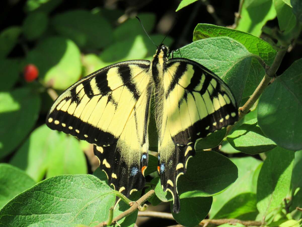 Jody Weidel of Coxsackie: This swallowtail finds a sunny respite from three weeks of New York rain in July.