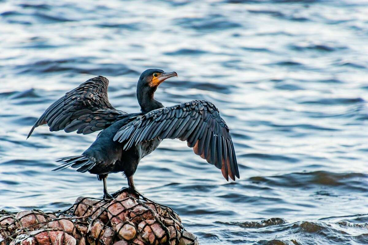 Cormorants consume approximately a pound of fish a day, and there are approximately 115,000 birds in Michigan waters, according to the US Fish and Wildlife Service. (Courtesy Photo/Pixabay)