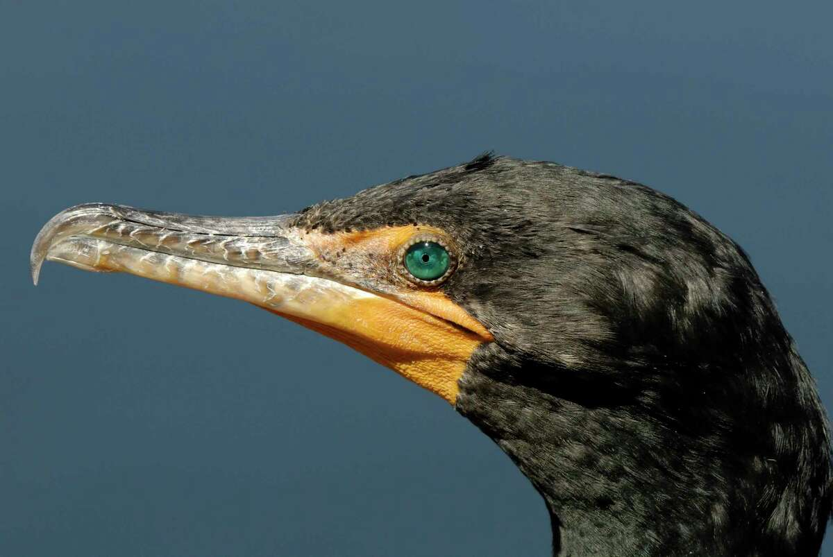 Ohrenscharbe (Phalacrocorax auritus) Double-crested Cormorant (Phalacrocorax auritus)