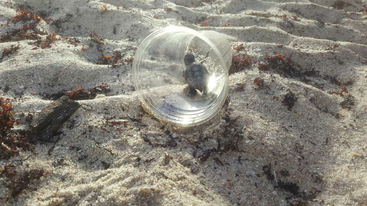 A sea turtle hatchling stuck in a plastic cup.