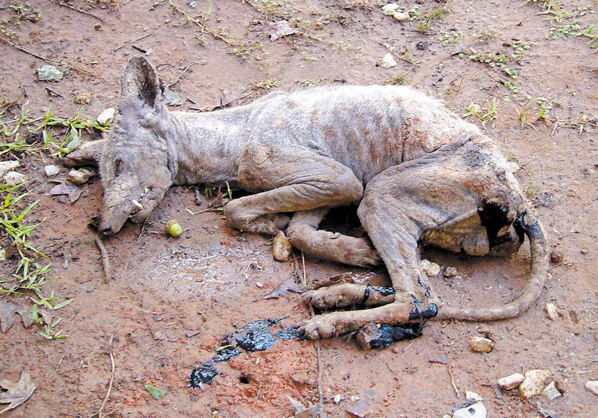 October 13, 2004: Local animal experts say they suspect a mystery beast killed in Pollok last week is a type of dog or coyote that was suffering from undernourishment and/or other ailments. But they admitted they're not really sure.